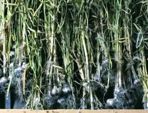 The Third Season of Garlic